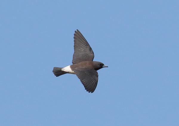 Leaden Flycatcher by NeilSchofield