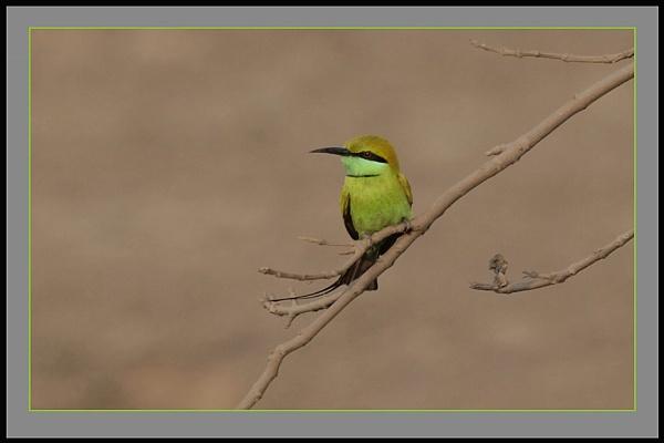Green Bee Eater II by prabhusinha