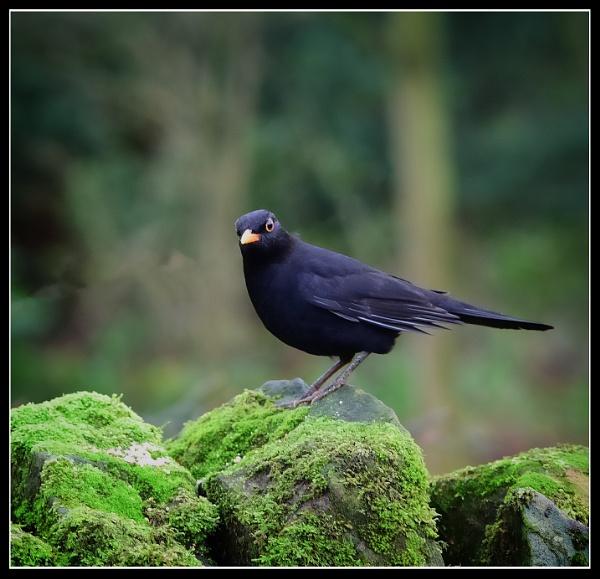 black bird by ossca