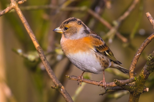 Brambling by Bazzaspal