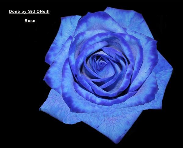 A Blue Rose. by sidnox