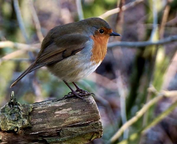 Robin by georgiepoolie