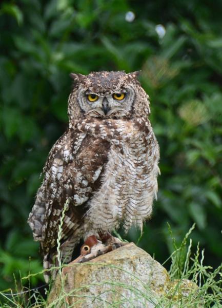 Owl by eddie1