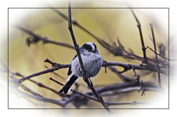 Long Tailed Tit In Plum Tree by Lord_Raglan