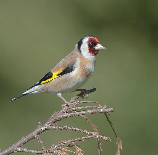 Goldfinch on a twig by 10delboy