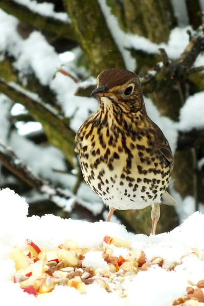Song Thrush by Chas05
