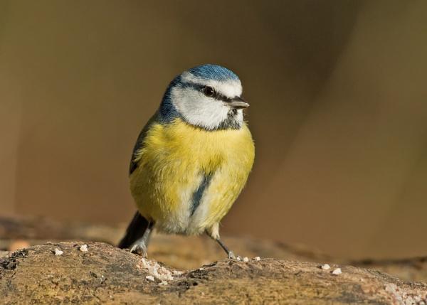 A Blue Tit by Graham63