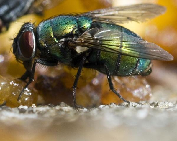 Greenbottle Fly by kip55