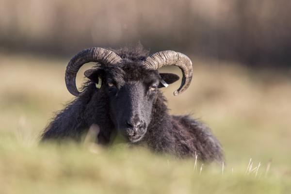 Black Sheep by sandwedge