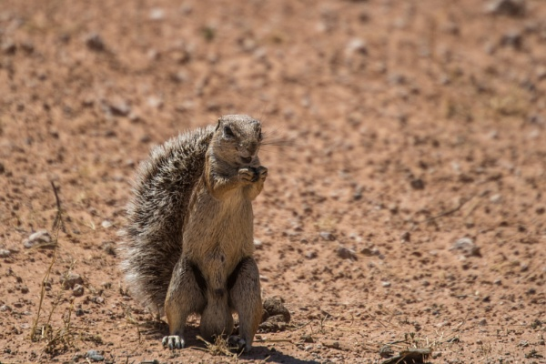 Ground Squirrels by Hazelmouse