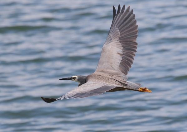 White Faced Heron in Flight by NeilSchofield