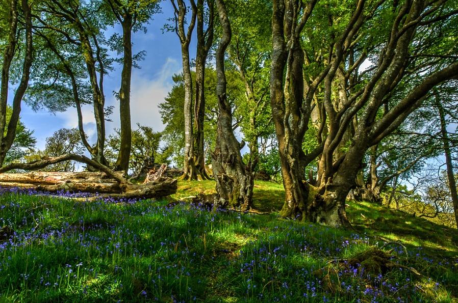 Bluebells, Carstramon Woods