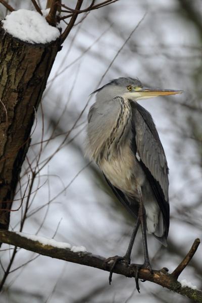 Grey Heron by colin beeley