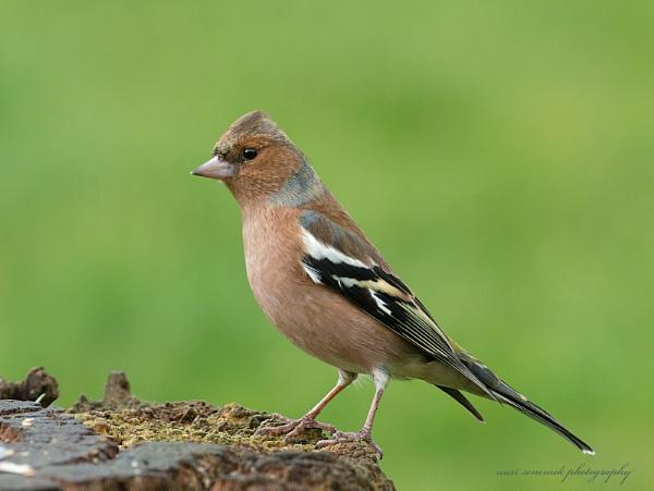 male chaffinch by senn
