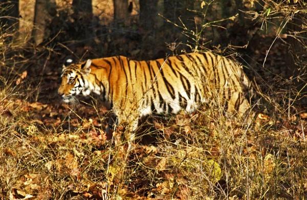 Tiger stripes by JuBarney