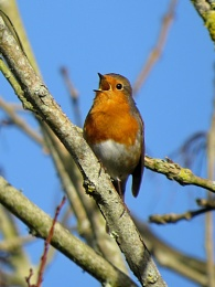 Singing Robin - again