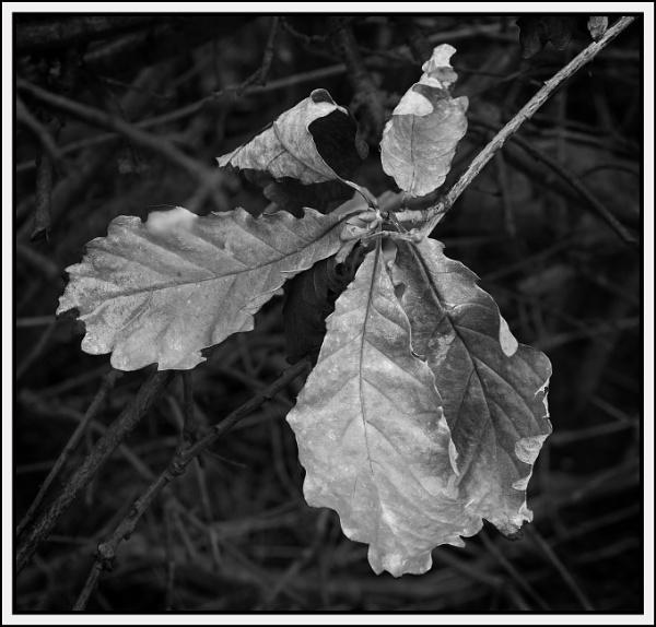 Oak Leaves by JawDborn