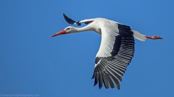 "European White Stork \""Ciconia Ciconia\"" by brian17302"