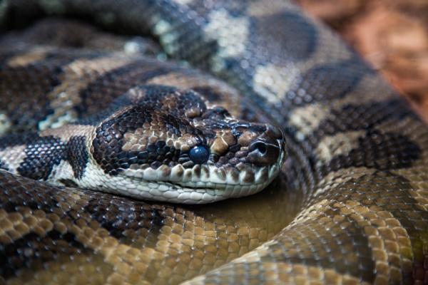 Carpet Python by Arjay999