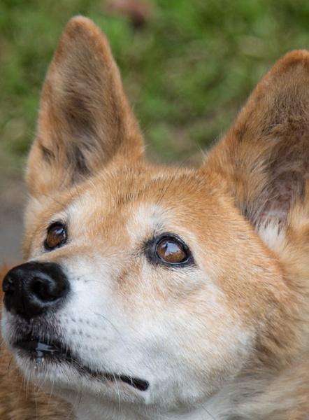Alpine Dingo by Arjay999