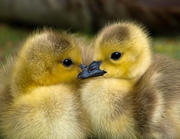 Goslings by victorburnside