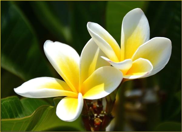 Frangipani by fotobee