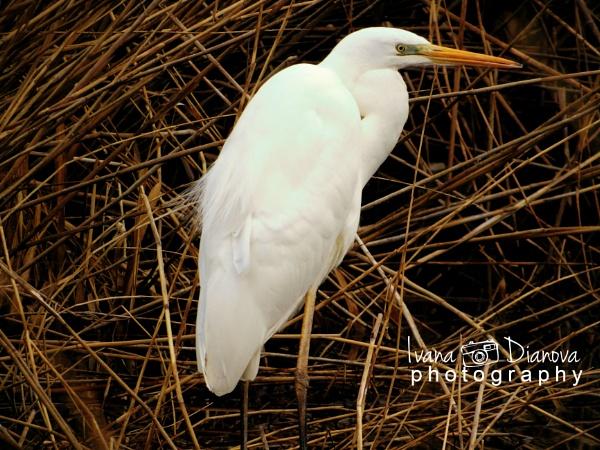 Great egret 2 by idiabb