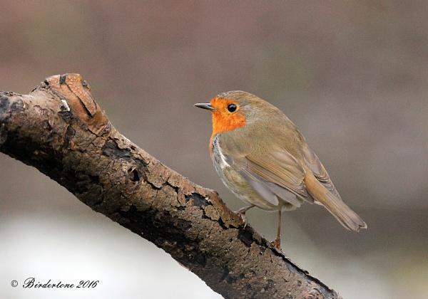 Robin, Country Park Woodlands, Northants. by BirderTone