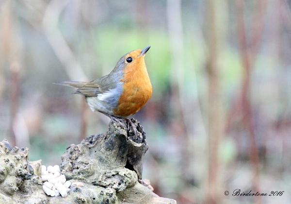 Robin (2), Country Park Woodland, Northants by BirderTone
