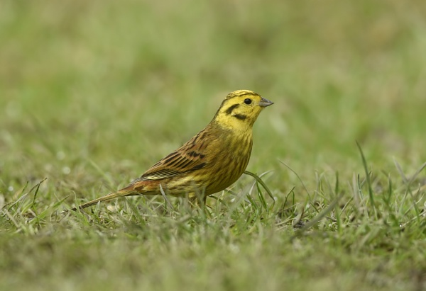Yellowhammer by NEWMANP