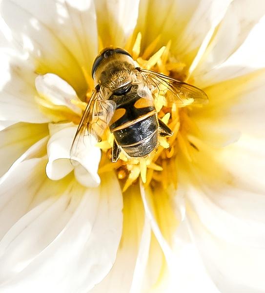 Honey bee  by GeoffDuke