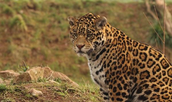 Jaguar by Len1950