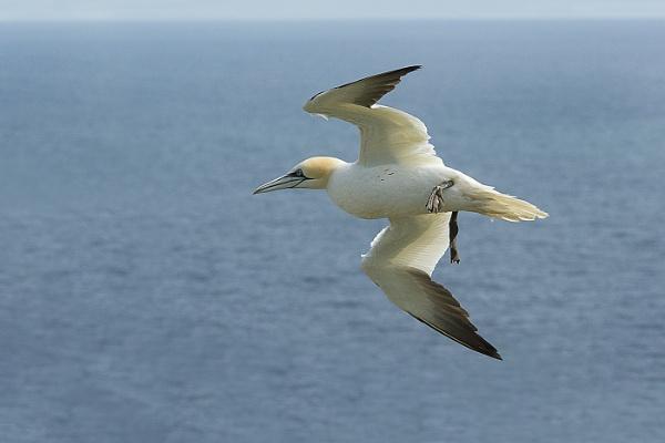 Gannet in Flight by johncob