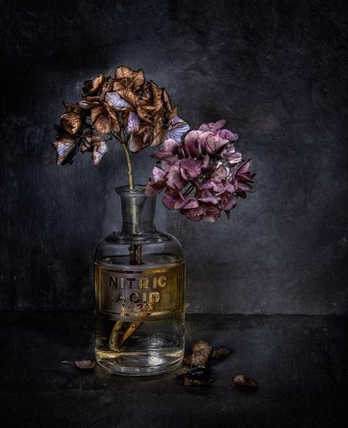 HNO3-DRANGEA by keithh