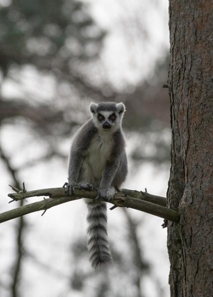 Lemur by grinningsoul2011