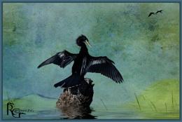 Black anhinga