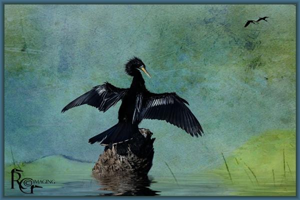 Black anhinga by rgg