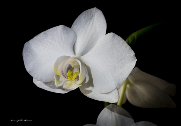 Orchid. by Jukka