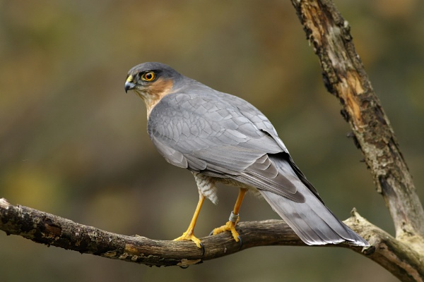 Male Sparrowhawk by dave1967