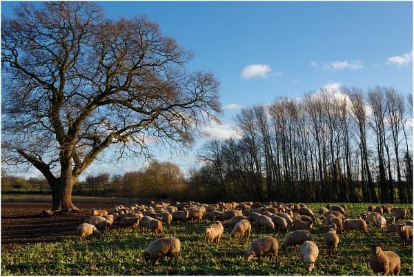 Sheep and Shadows by dark_lord