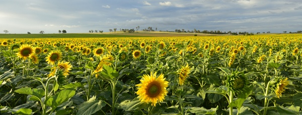 Sunflowers west of Clifton QLD by steevo46