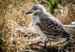 Phillip Island Sea Gull