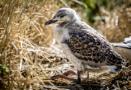 Phillip Island Sea Gull by david1810