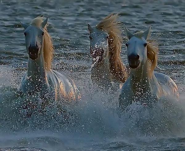 Camargue Horses by Holmewood
