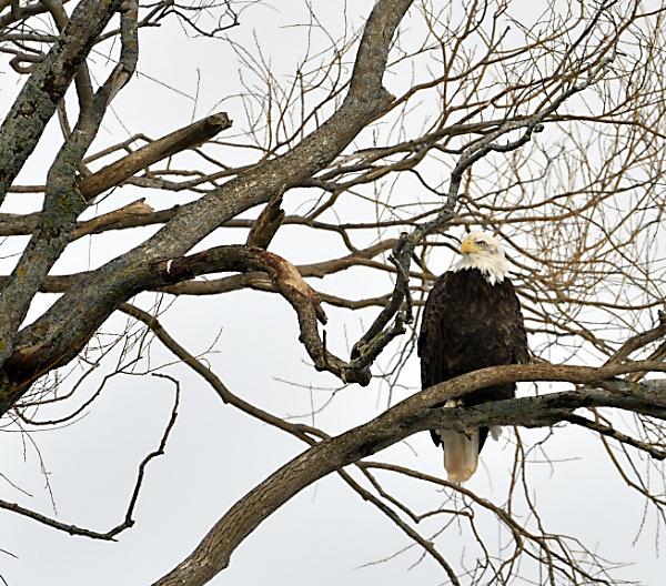eagle by tasosone