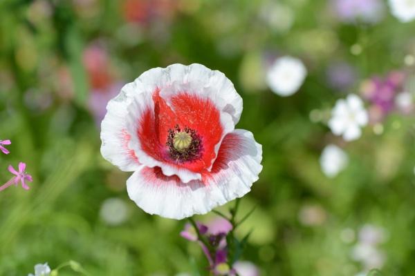 Poppy meadow by Danny1970