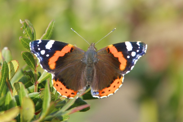 Red admiral by alcontu