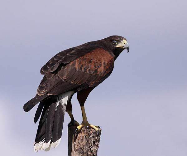 Harris Hawk--Parabuteo unicinctus. by bobpaige1