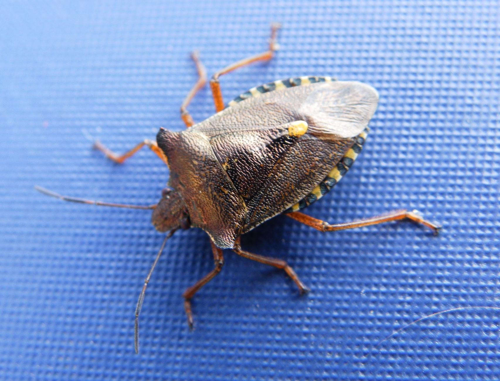 Egyptian Bug