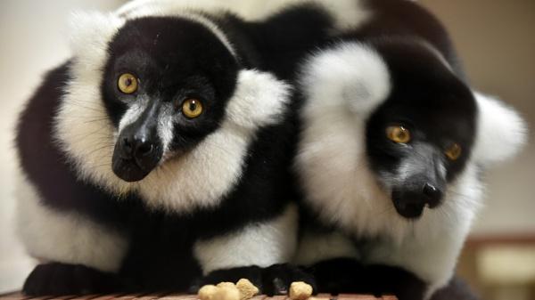 Lemurs by robbenwick